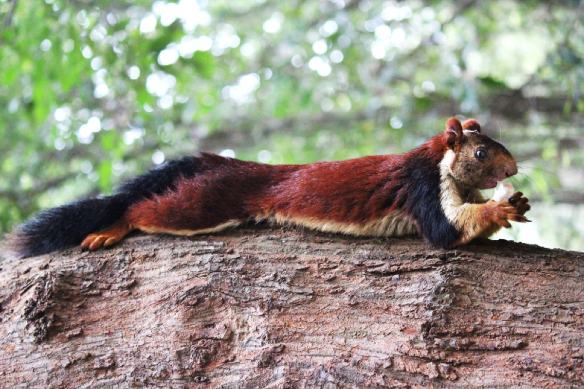 The Indian Furry Malabar Gaint Squirrel eating Coconut on the tree