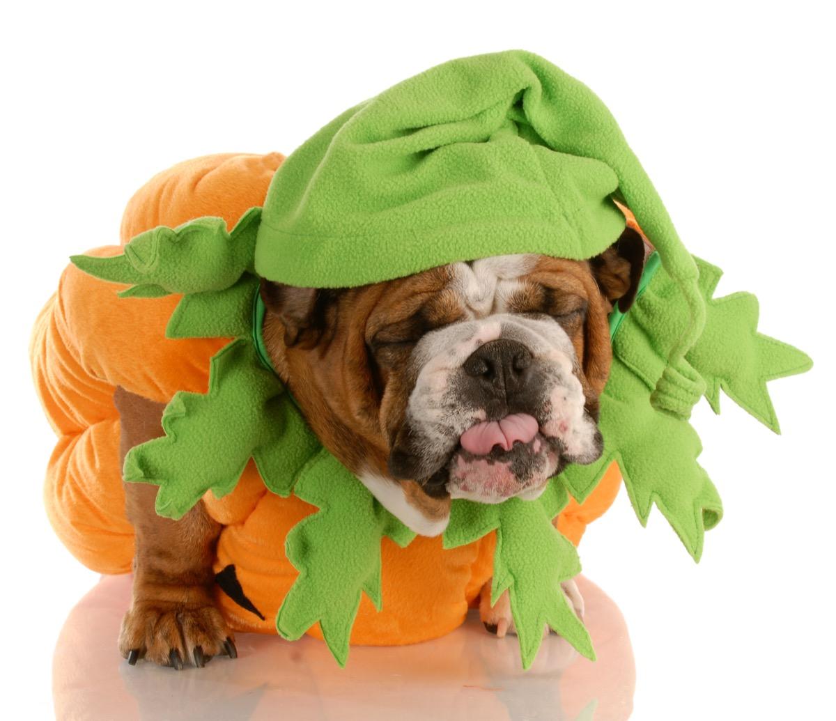 dog dressed as pumpkin