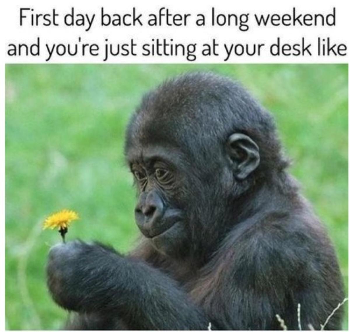 Baby gorilla holding a dandelion meme