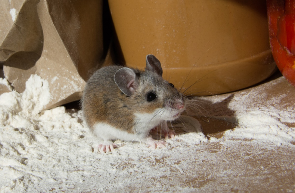 wild mouse standing in flour, fire prevention tips
