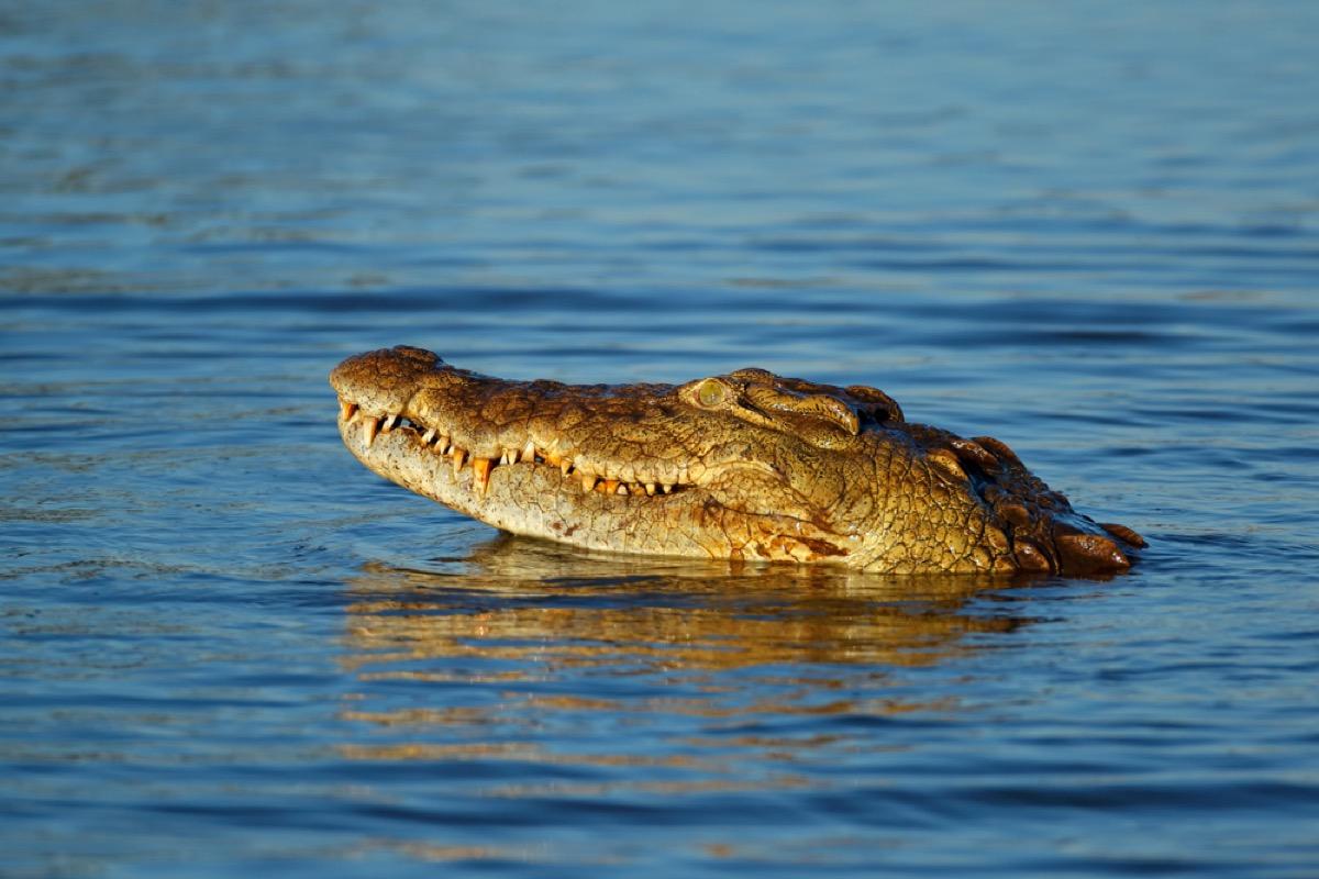 nile crocodile in the water