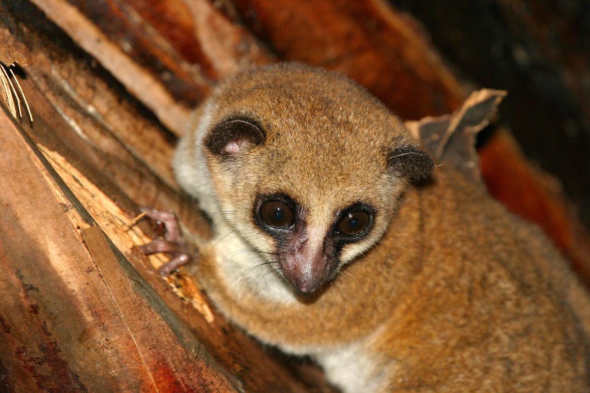 Adorable dwarf lemur