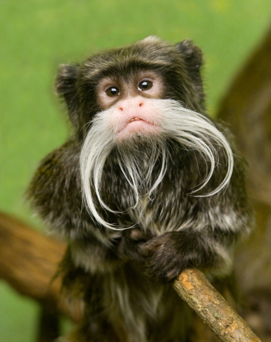 Emperor tamarin monkey with a mustache