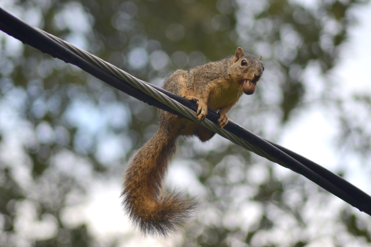 squirrel with a nut in its mouth on a power line