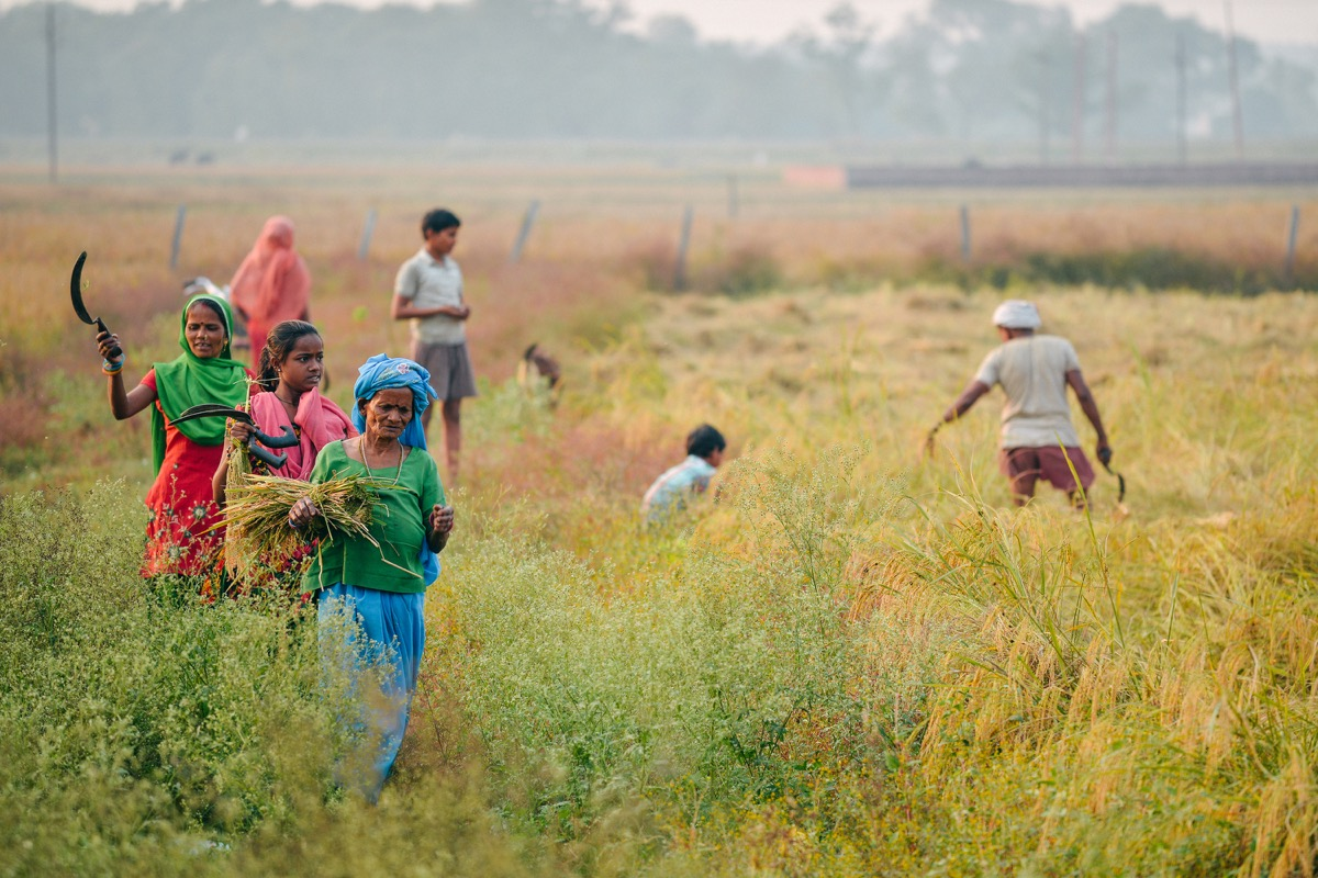 indian family working at rice field