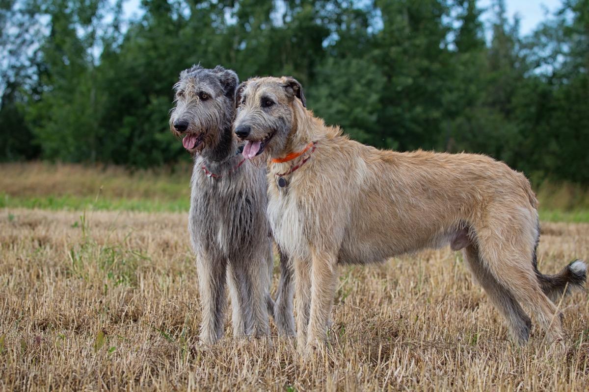 Anjing Serigala Irlandia