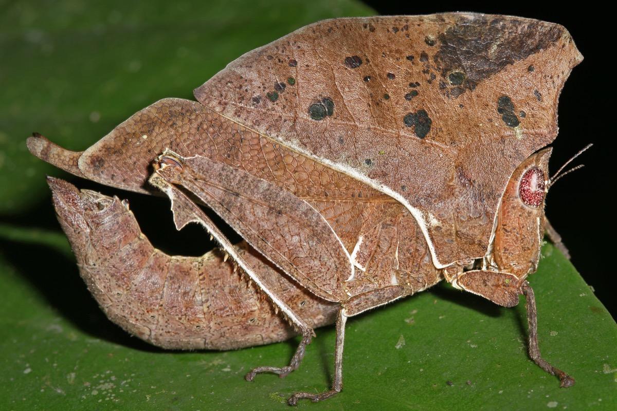 Grasshopper that looks like a leaf