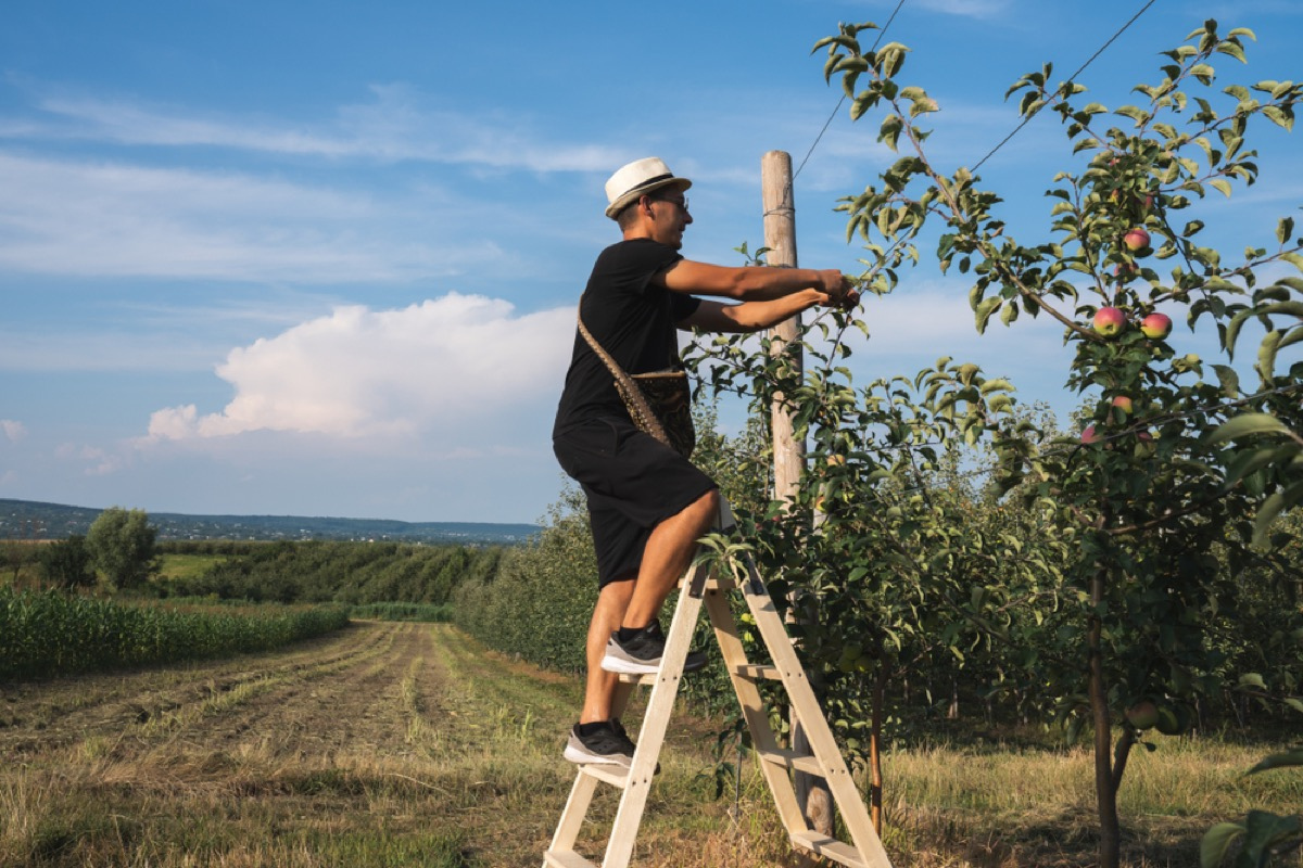 young white man on ladder tying apple trees to wire fencing