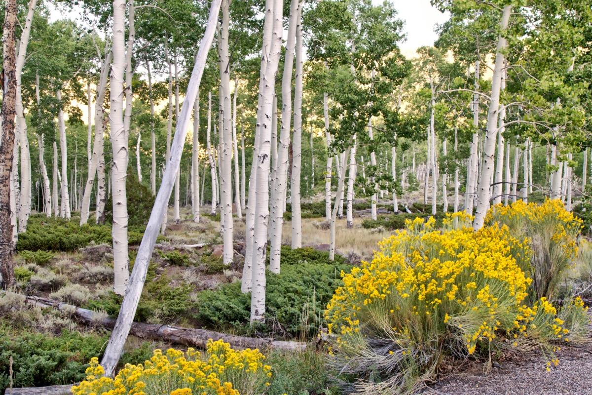 Aspen grove with yellow flowers