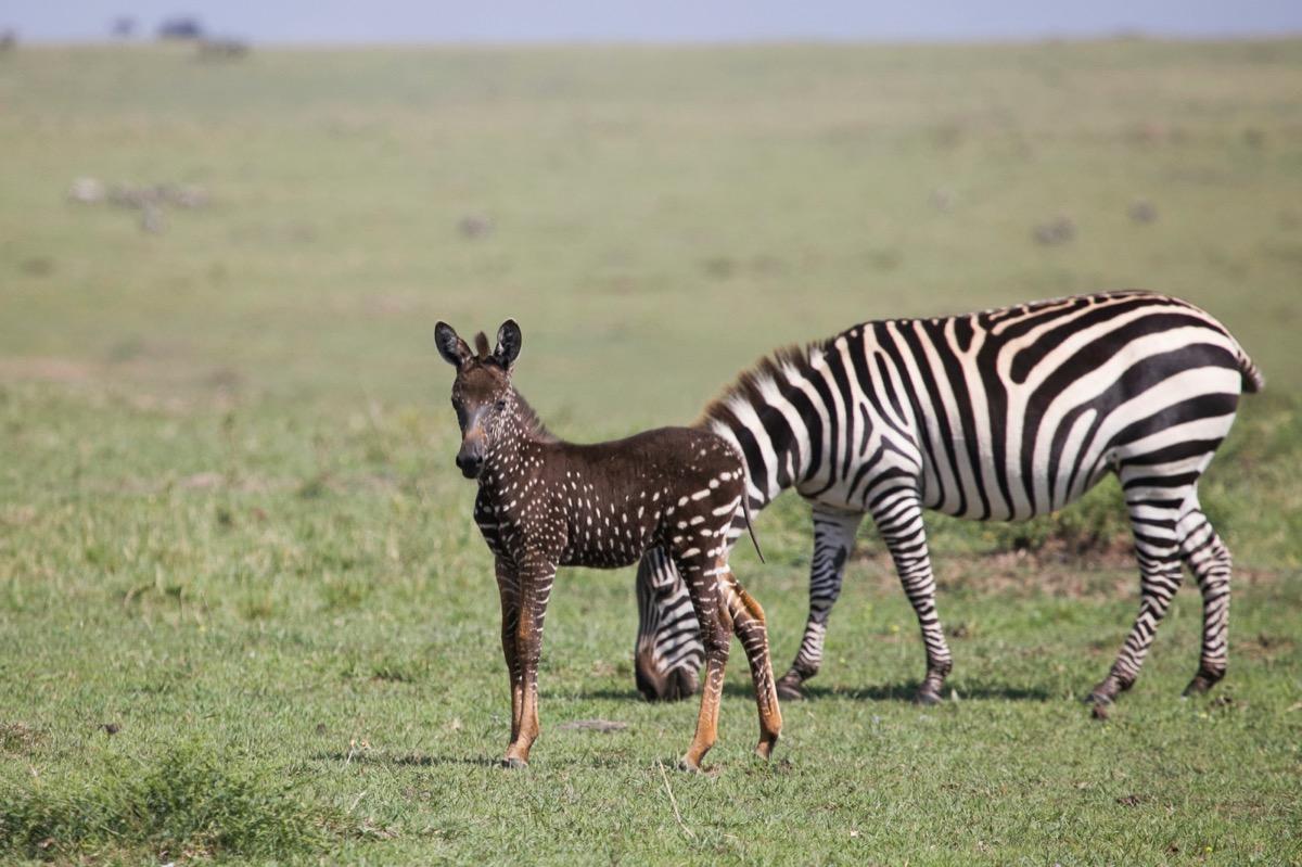 polka dot zebra foal