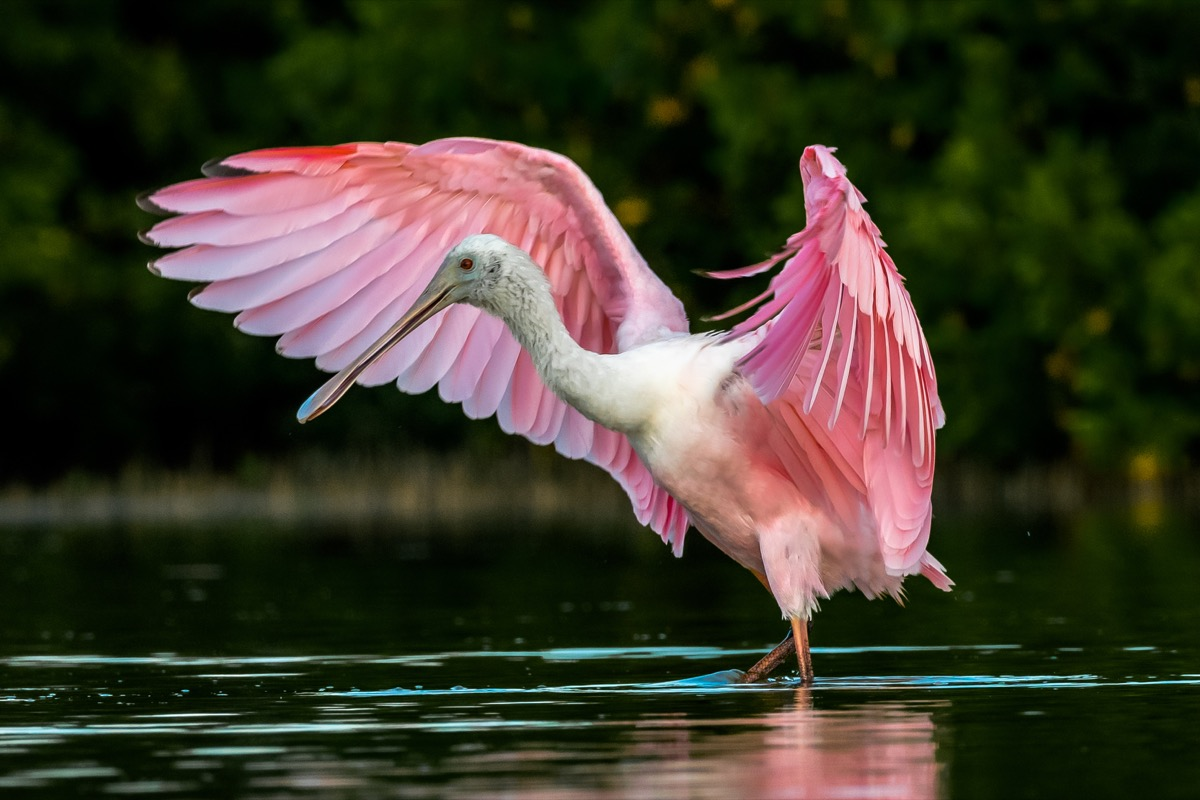 Roseate spoonbill - bird with pink wings