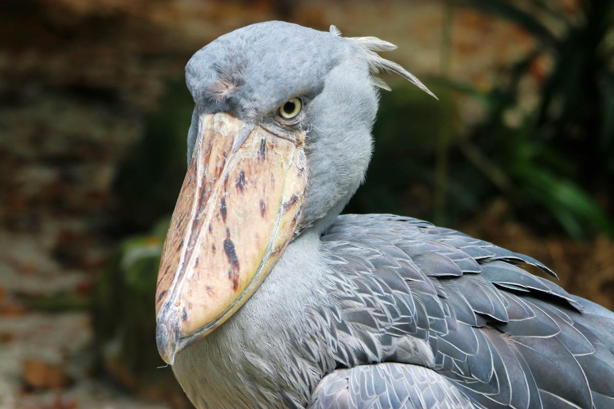 The bizarre shoebill bird