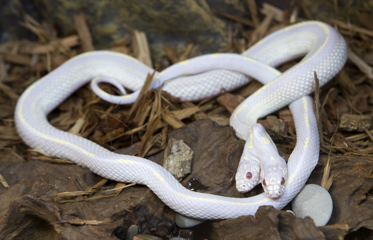 A white snake with two heads