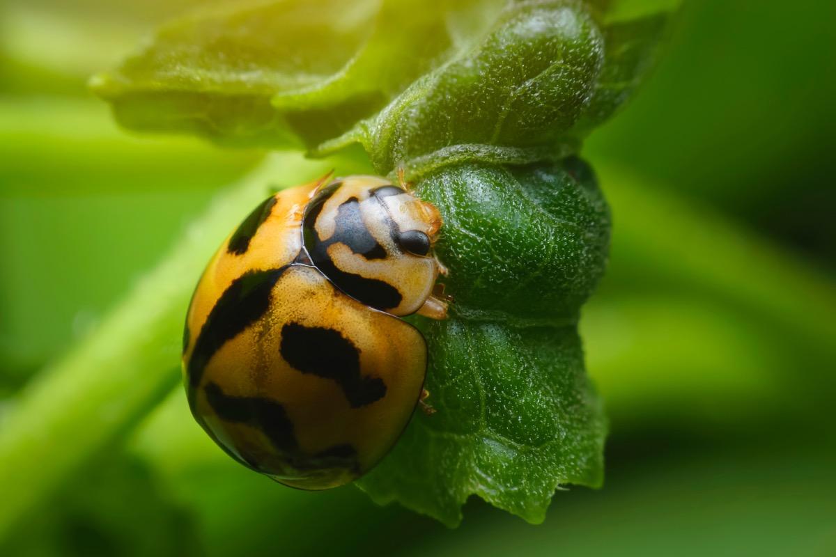 Striped Ladybug
