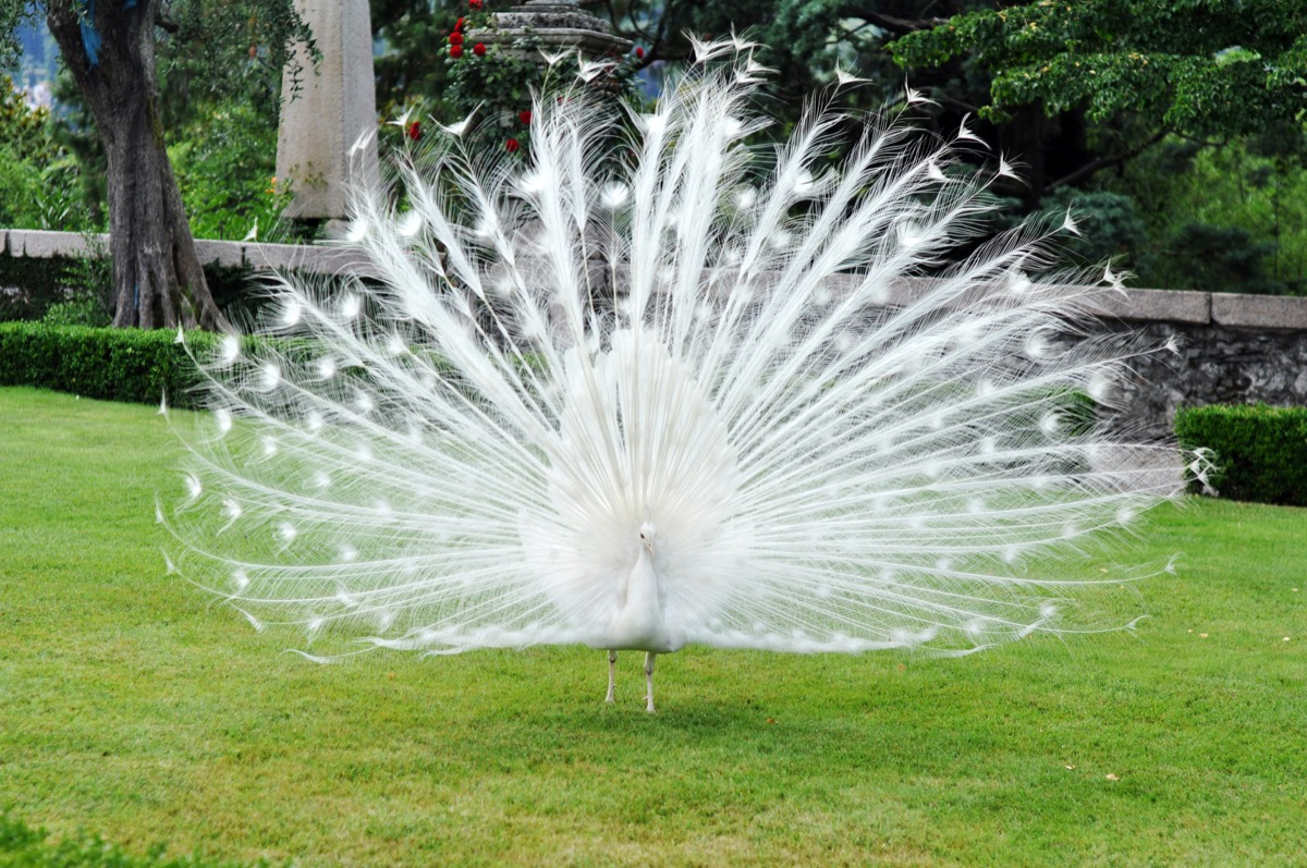 White peacock with its feathers open