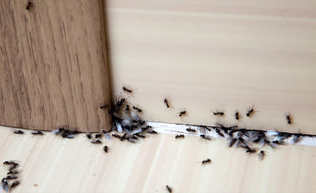 ants sneaking into house through door