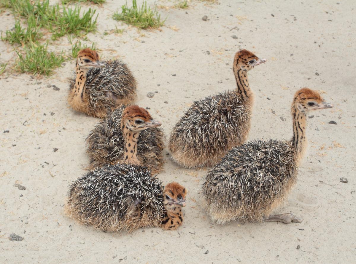 baby ostriches at ostrich farm