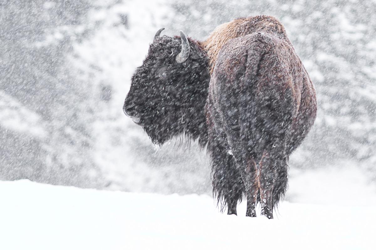 A buffalo walking through the snow in Idaho