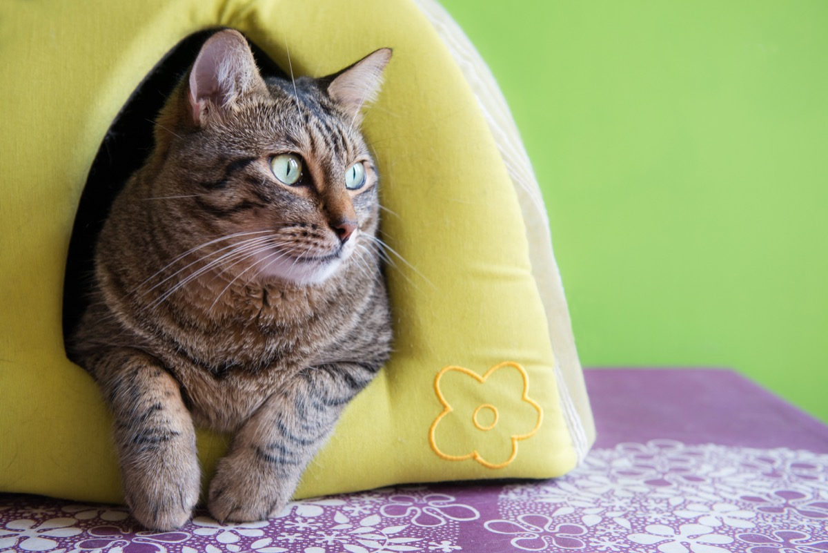 cat in cat house waiting for owner
