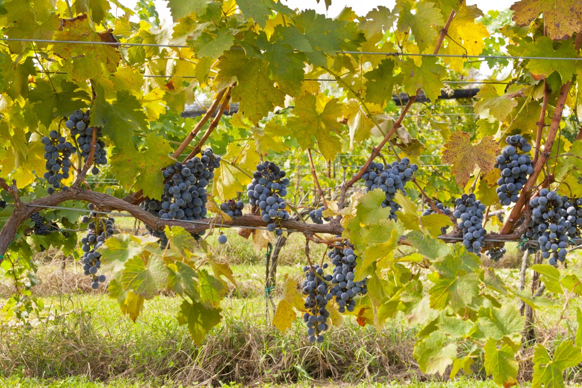 grapes hanging at vineyard