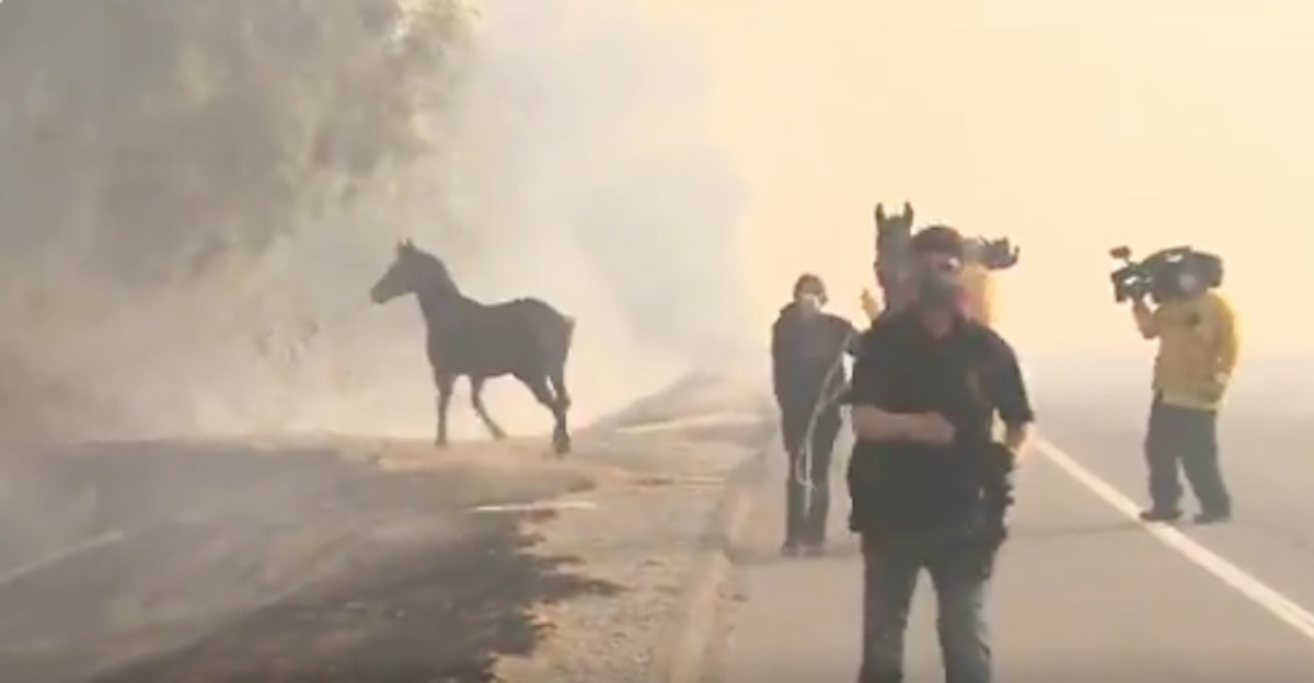 horse saves two horses in california wildfire