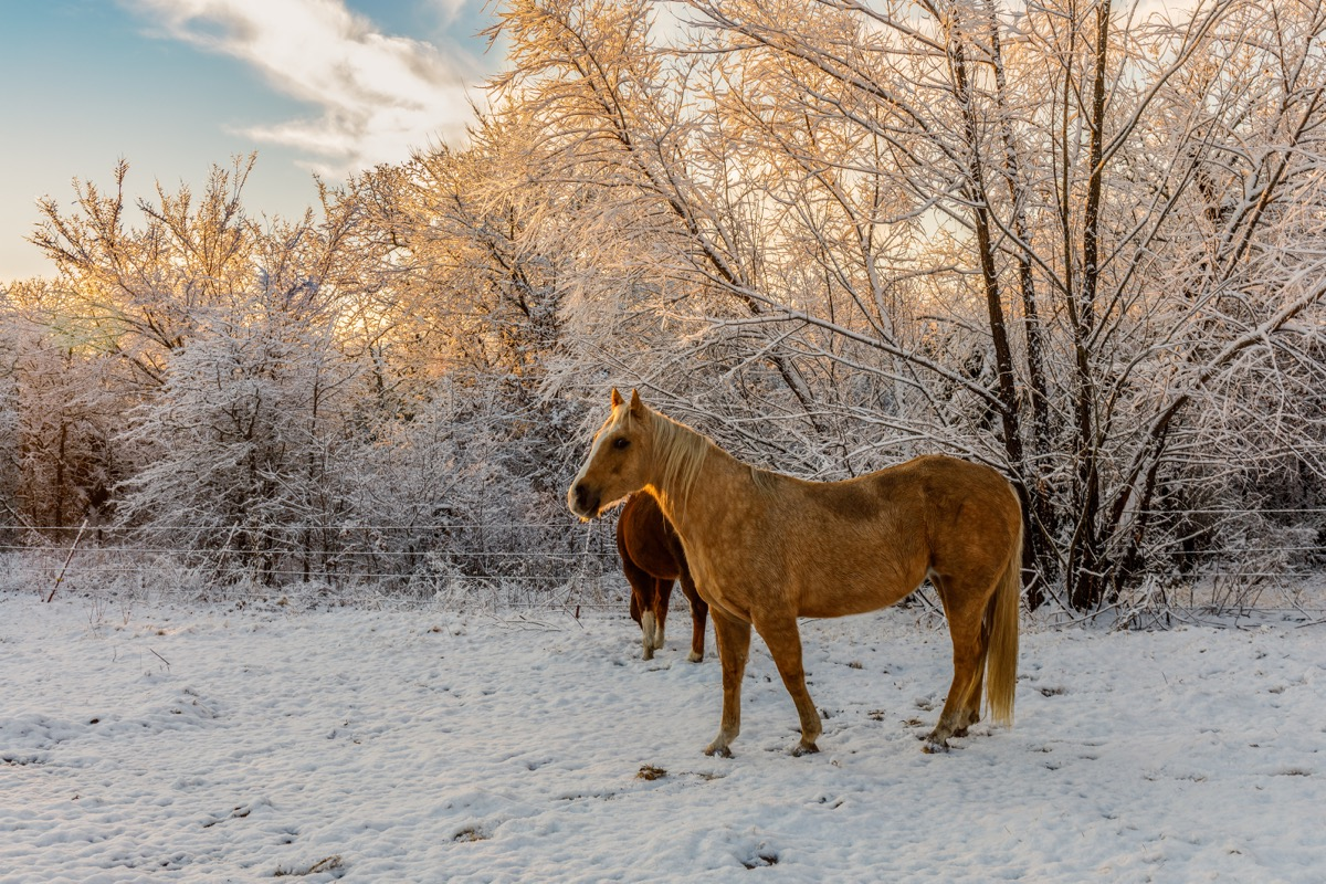 Horses on a field in the winter in Oklahoma
