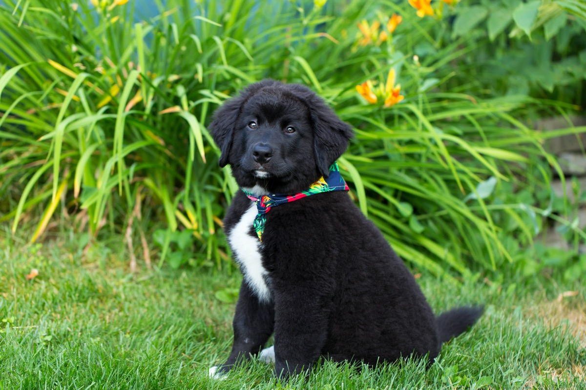 lab and bernese mountain dog mix puppy