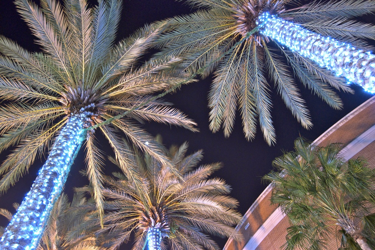 Palm Trees covered in Christmas lights