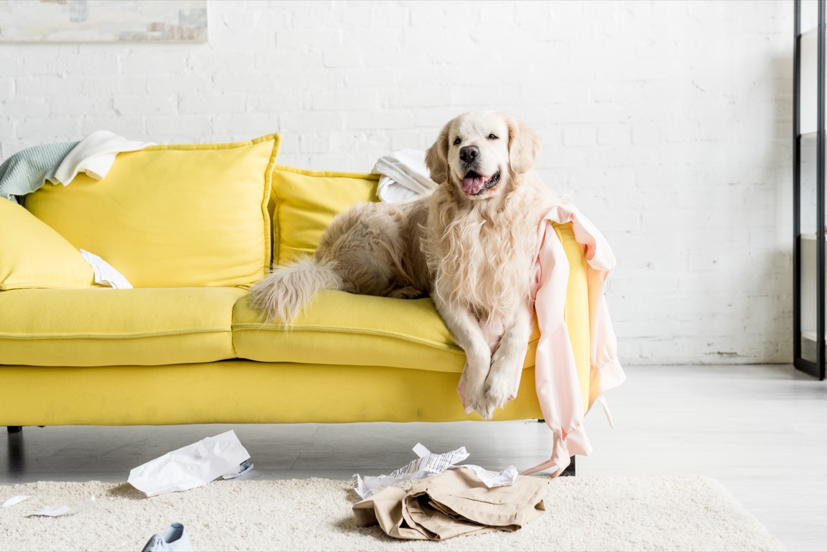 puppy on messy couch