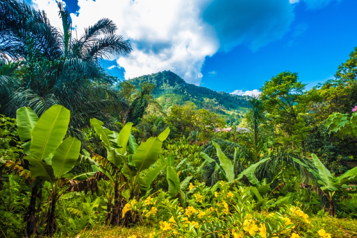 wild banana tree flower in Madagascar forest