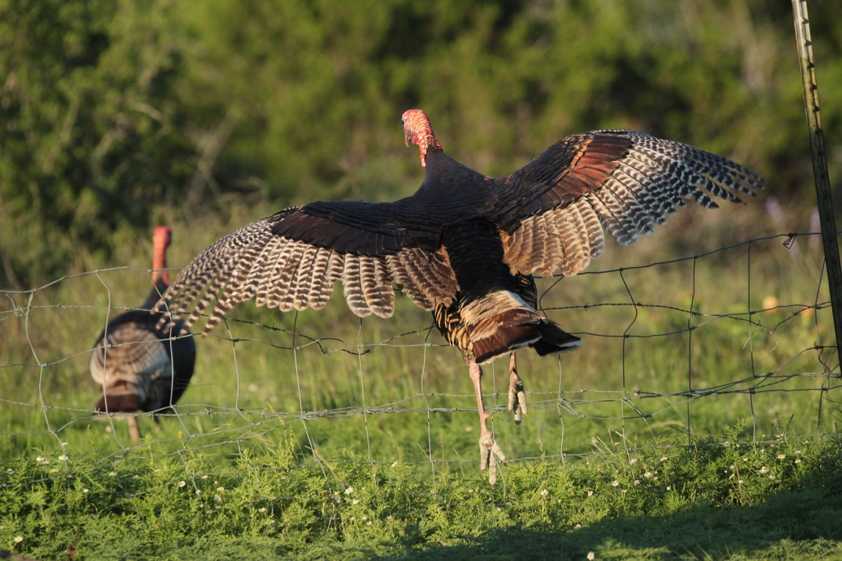 soaring turkey
