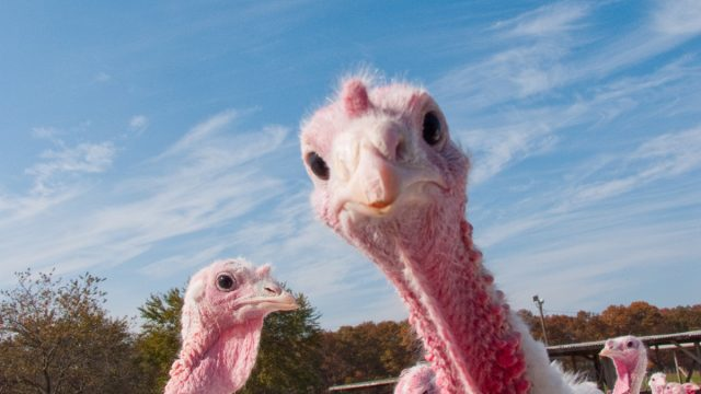 turkey farm