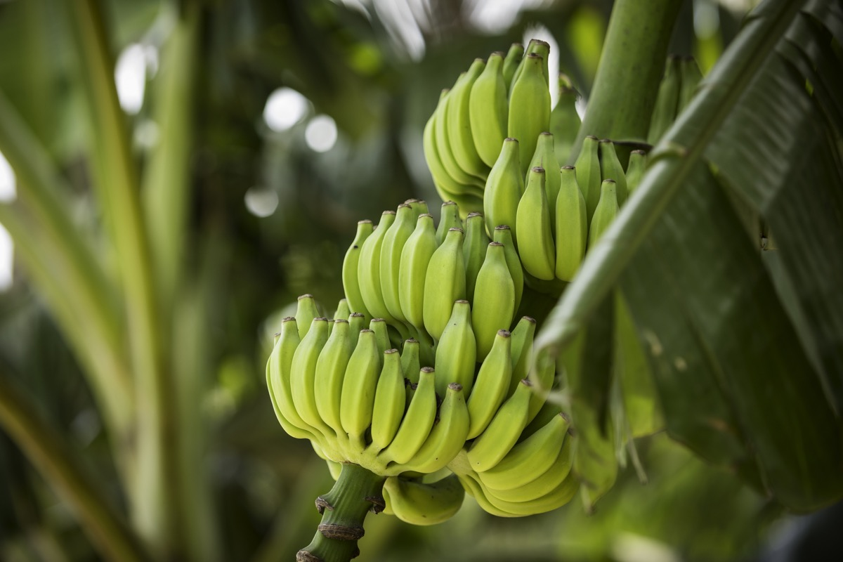 bananas growing on a plant
