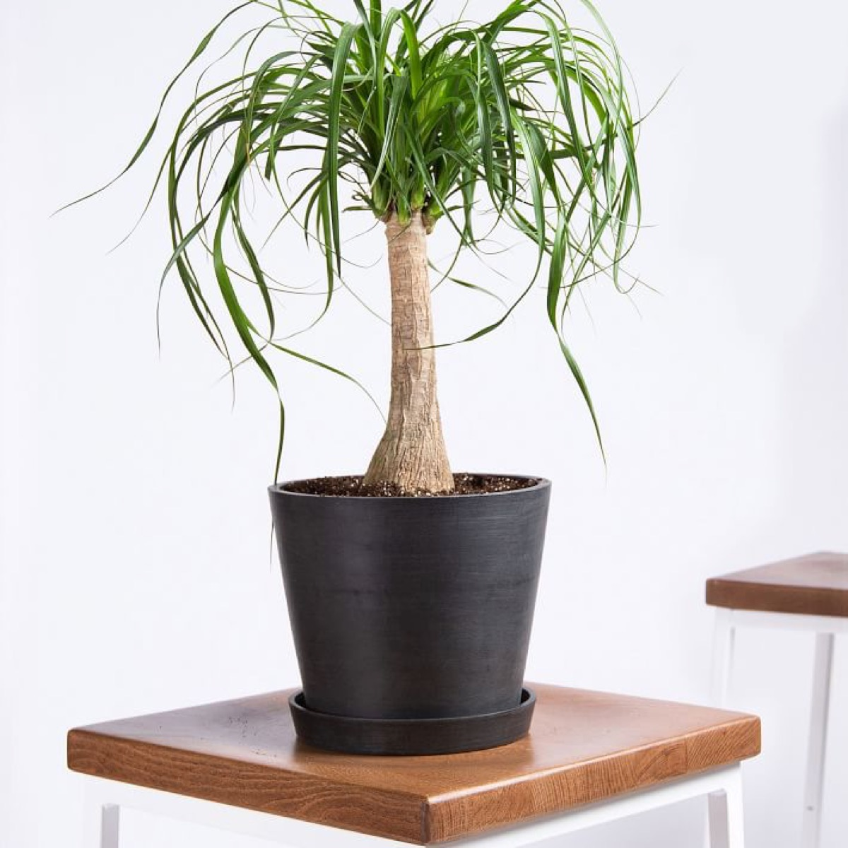 bloomscape potted ponytail