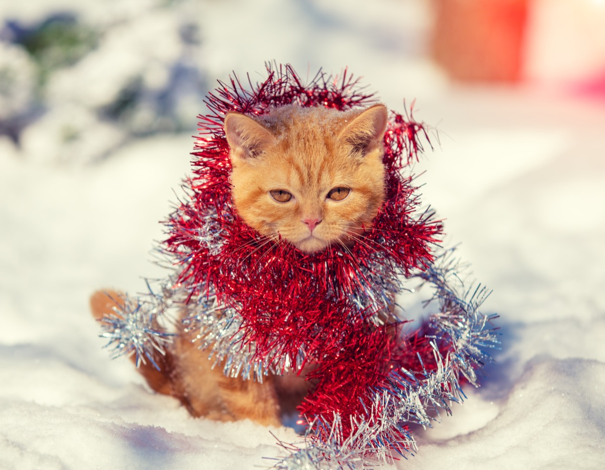 Funny cat wrapped in tinsel