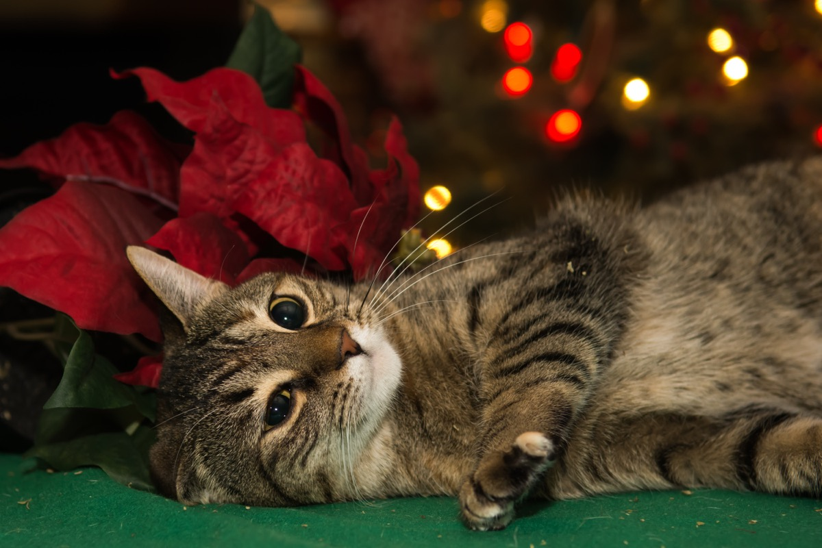 cat playing with poinsetta