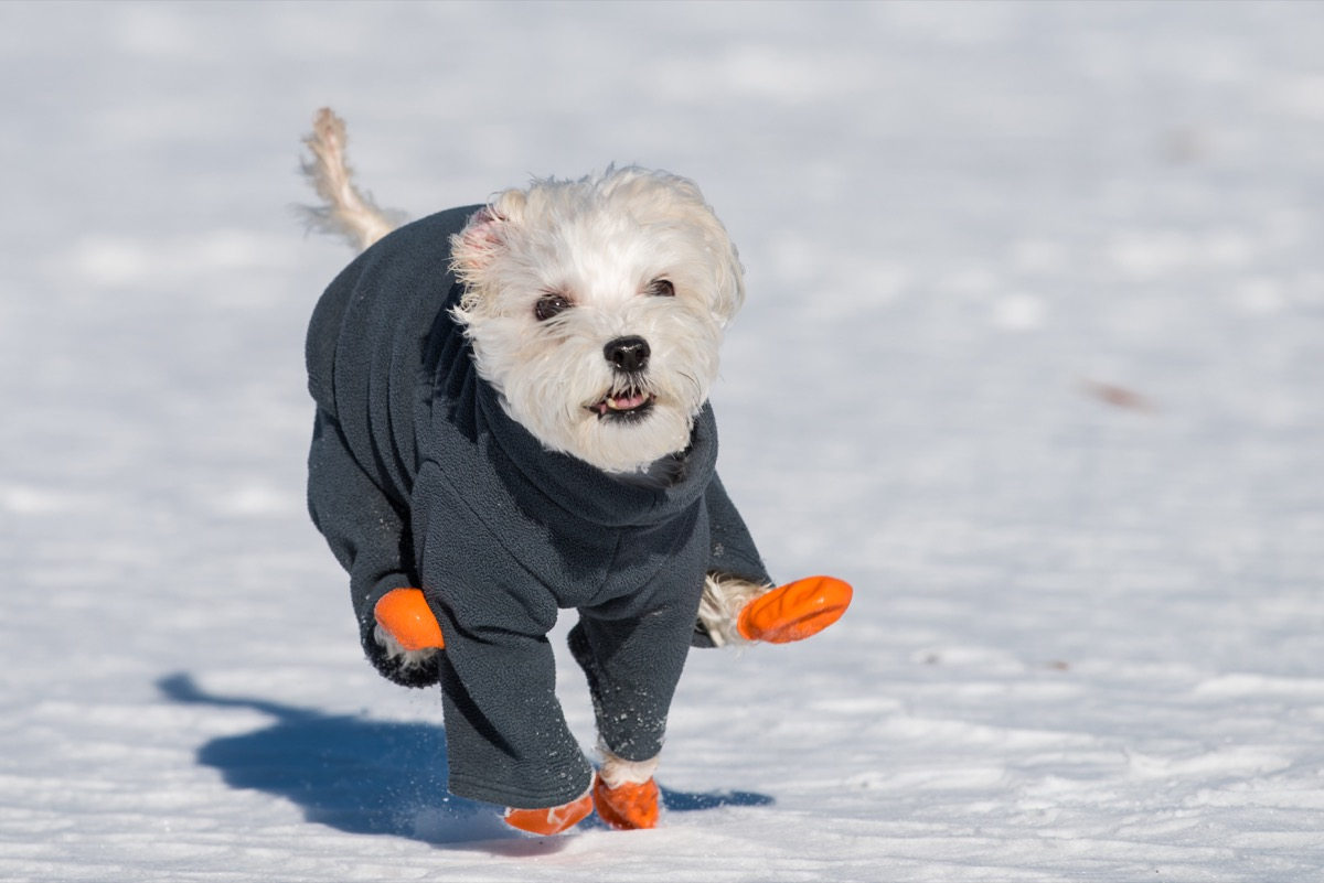 Little dog wearing booties in the snow