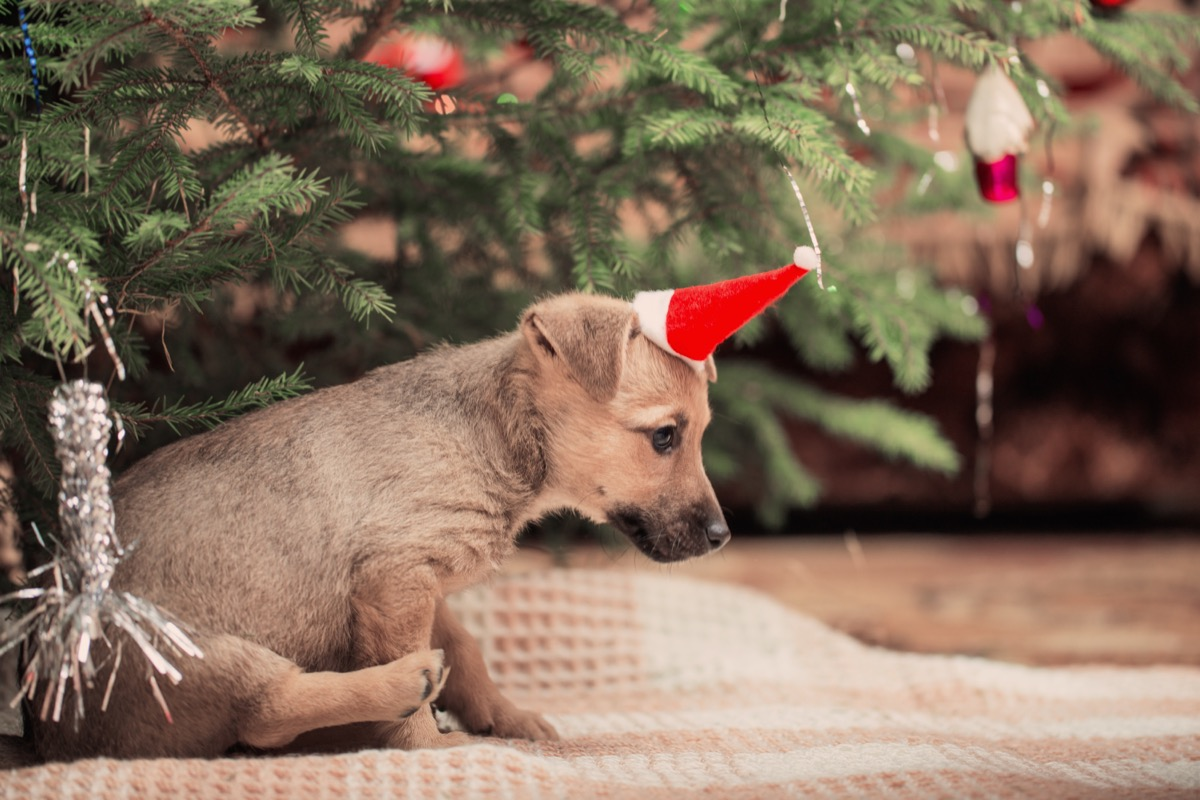 Cute dog in a christmas hat by a christmas tree