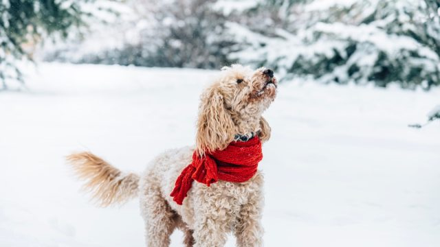 Cute dog wearing a scarf in the snow