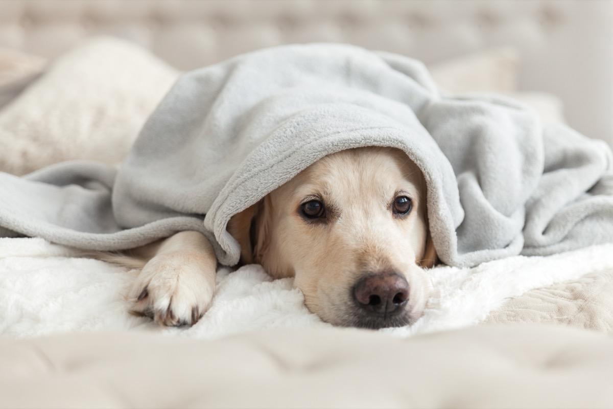 Cute dog under a blanket