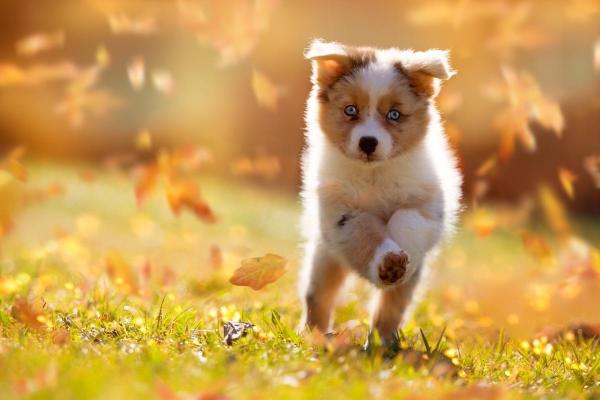 Puppy running through leaves