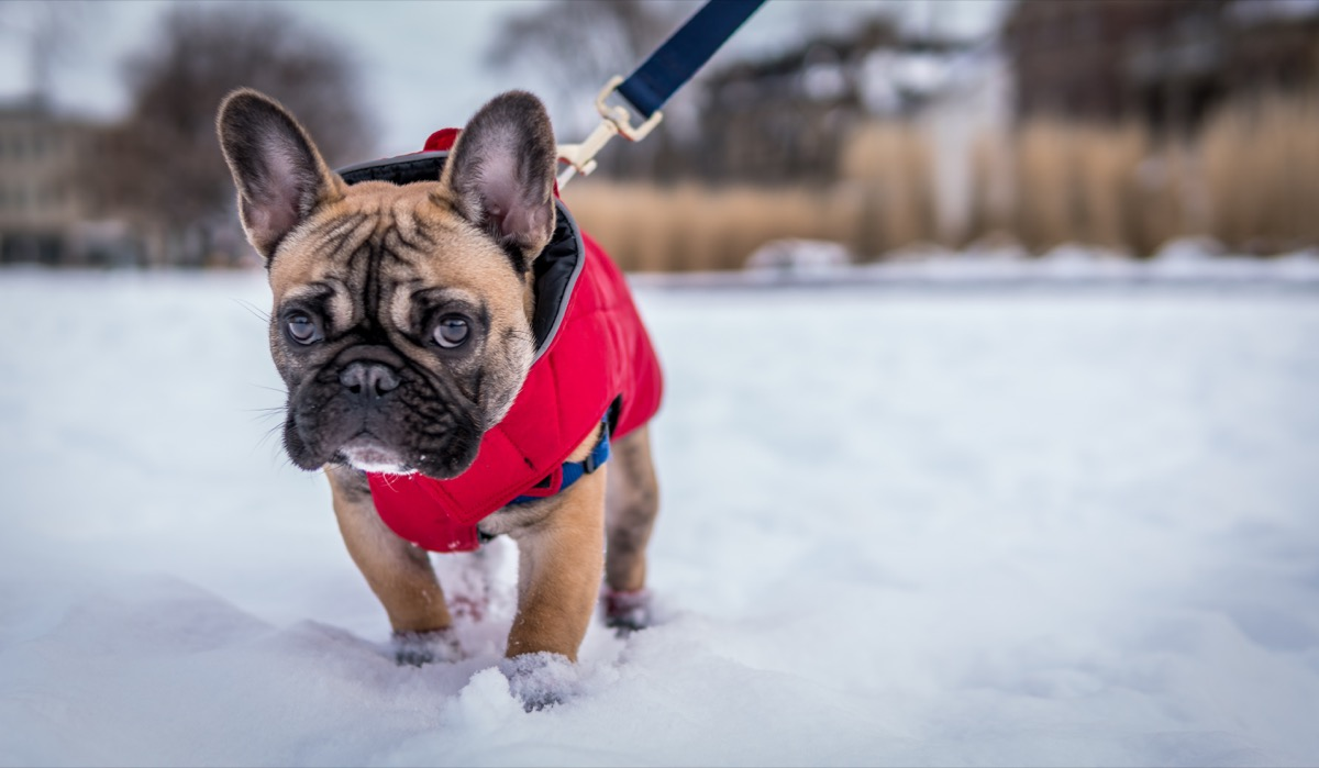 Frenchie dog in a vest going for a walk in the winter in the snow