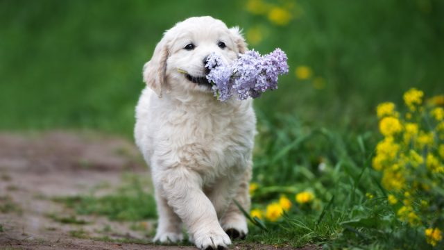 Puppy carrying flowers in mouth