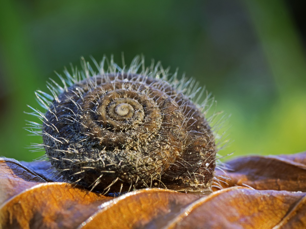 Snail with a hairy shell