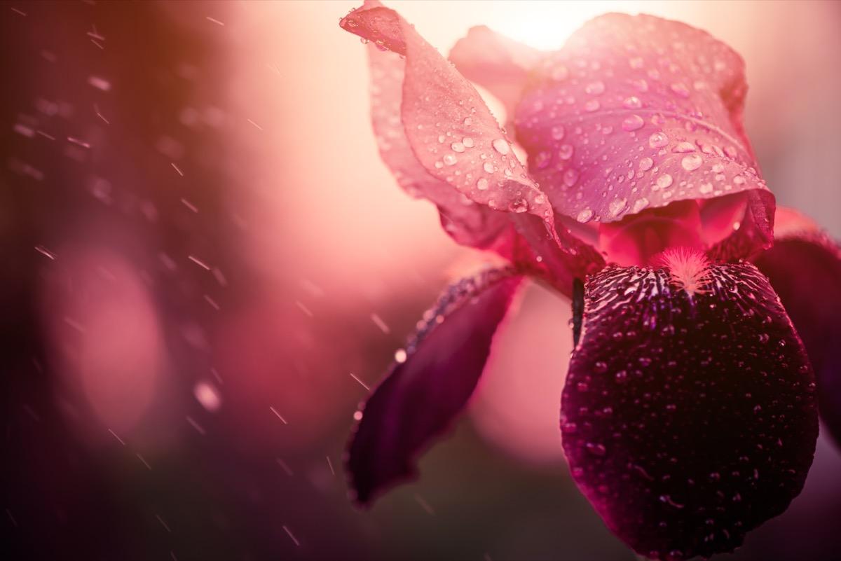 iris flower under the rain
