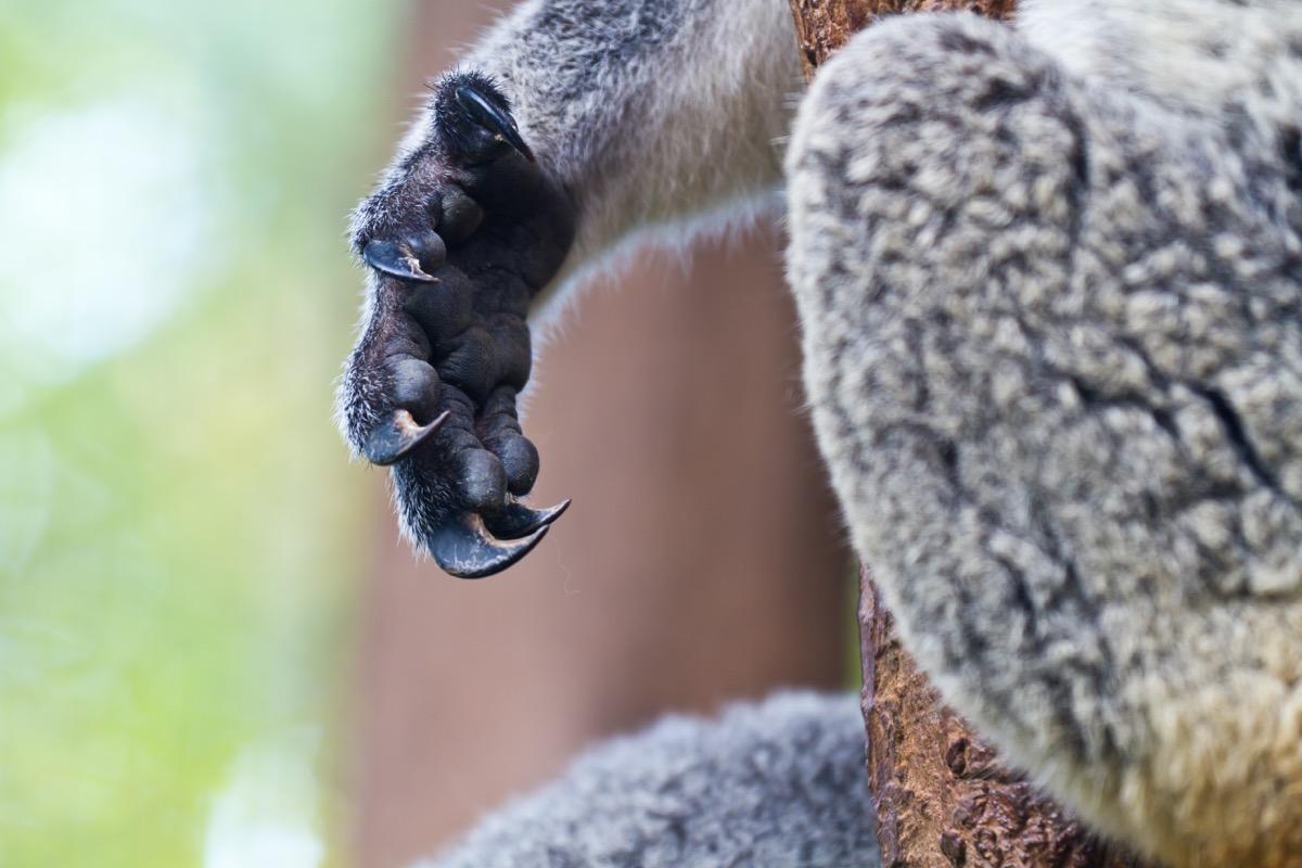 Koala hand