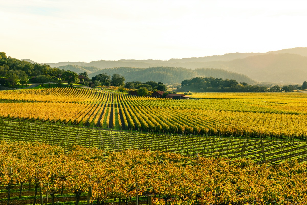 golden vineyard in the fall