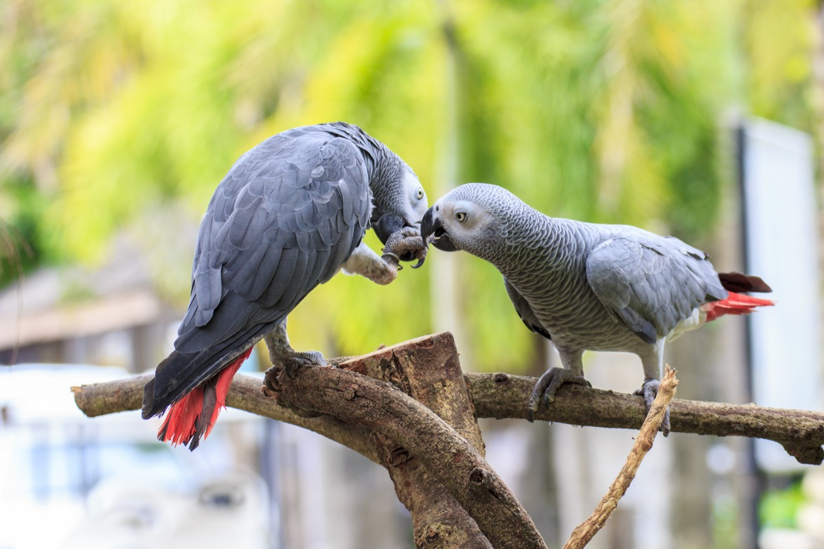 Gray African parrots helping eachother