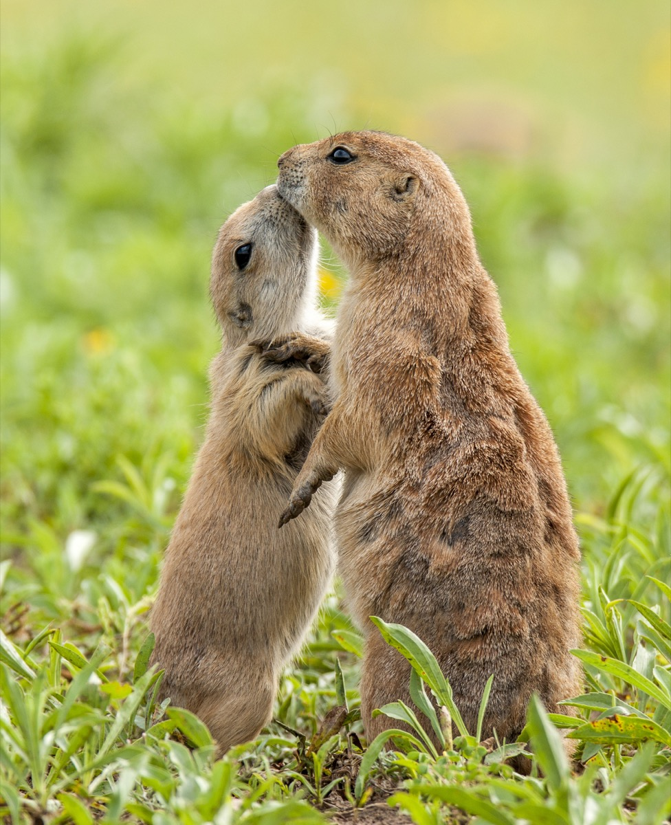 Prairie dogs kissing in the grass field