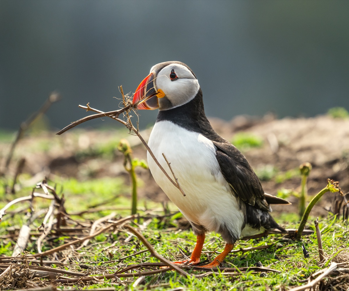 Puffin with a twig